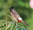 Red-vented Bulbul (BAHRAIN)