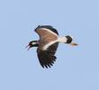 Red-wattled Lapwing (UAE)