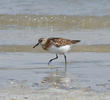 Sanderling (Breeding plumage)