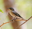 Semi-collared Flycatcher (Female)