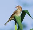 Spanish Sparrow (Female)