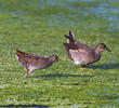 Spotted Crake (and immature Moorhen, right)