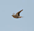 Spotted Sandgrouse (Male,OMAN)