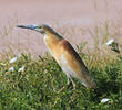 Squacco Heron (Breeding plumage)
