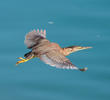 Striated Heron (Immature, UAE)