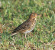 Tree Pipit (Spring)