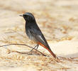 Western Black Redstart (Male)