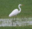 Western Great Egret