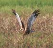 Western Marsh Harrier (Male)