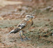 Whinchat (Male non-breeding)