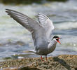 White-cheeked Tern (Breeding plumage)