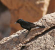 White-crowned Wheatear (Winter immature)