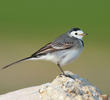 White Wagtail (Non-breeding)