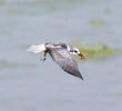 White-winged Tern (Winter)