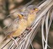 Afghan Babbler (Juveniles)