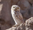 Lilith Owlet