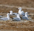 Slender-billed Gulls (Nesting colony)