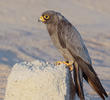 Sooty Falcon (11th record for Kuwait, Oct. 2013)