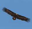 Cinereous Vulture (GREECE)