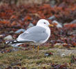 Common Gull (Breeding plumage, FINLAND)