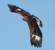 Golden Eagle (Immature, GREECE)