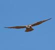 Lanner Falcon (GREECE)
