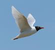 Mediterranean Gull (Breeding plumage,GREECE)