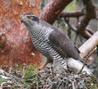 Northern Goshawk (Breeding, FINLAND)