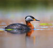 Red-necked Grebe (Breeding plumage, BULGARIA)