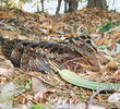Eurasian Woodcock (UAE)