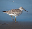 Great Knot (Non - breeding, UAE)
