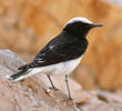 Hooded Wheatear (Male spring, UAE)