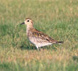 Pacific Golden Plover (Juvenile, UAE)