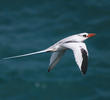 Red-billed Tropicbird (OMAN)