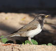 Black-throated Thrush (Male)