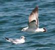 Common Gull (Immature)