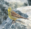 Eastern Cinereous Bunting