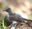 Eastern Orphean Warbler (Female autumn)