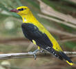 Eurasian Golden Oriole (Male)