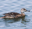 Garganey (Female)