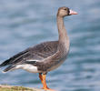 Greater White-fronted Goose (Juvenile)