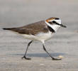 Kentish Plover (Male non - breeding)