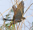 Levant Sparrowhawk (Juvenile)