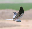 Montagu's Harrier (Male)