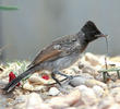 Red-vented Bulbul (Juvenile)