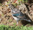 Rose-coloured Starling (Immature moulting)