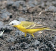 White-headed Wagtail