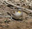 Yellow-throated Sparrow (male)