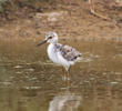 Black-winged Stilt (Fledgling)