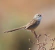 Graceful Prinia